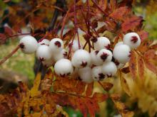 Sorbus koehneana (pärlrönn)