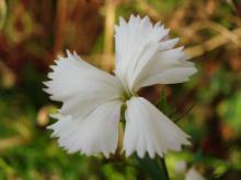 Dianthus  plumarius  (fjädernejlika)