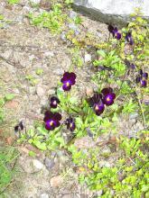 Viola cornuta  Famös  (sammetsvioletta blommor)