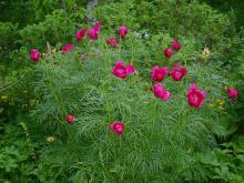 Paeonia tenuifolia    (Dillpion) Tidigblommande