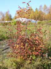 Saskatoonbusken är inte lika vacker som aronia på hösten