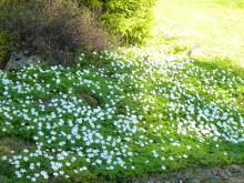 Anemone nemorosa (vitsippa)