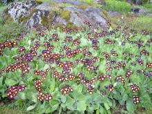 Primula   (Trädgårdsaurikel) En tacksam och säker vårblommare