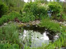 Damm med många grodor, som håller igång under vår och försommar