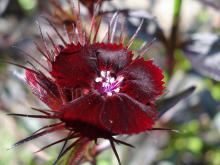 Dianthus barbatus sooty (Borstnejlika)