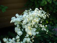 Filipendula vulgaris (brudbröd)