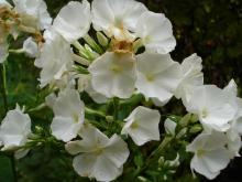 Phlox paniculata David (Vit höstfllox)