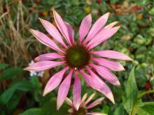 Echinaceae purpurea (Röd rudbeckia)