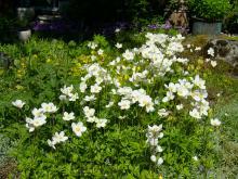 Anemone sylvestris   (tovsippa)