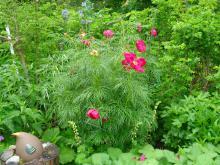 Paeonia tenuifolia(dillpion) Den tidigaste och mycket vacker pion