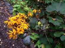 Ligularia Britt-Mari Crawfors är vacker på hösten