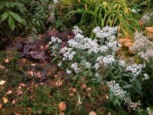 Ulleternell (Anaphalis triplinervis) står sig länge på hösten