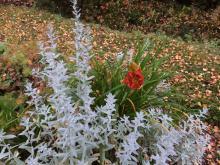 Artemisia ludoviciana (vitmalört)Hemerocallis Charles Johnston tetr.pl.