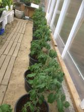 1 juni 2017 Tomatplantorna har omplanterats: sorter Alicante och Moneymaker