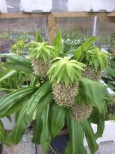 Fläckig tofslilja blommar (för tidigt)