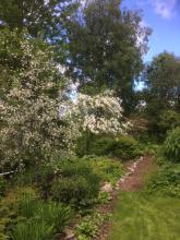 Olika fruktträd blommade inte förrän 23 juni 2017