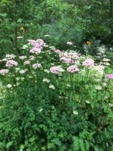 28 juli 2017 Chaerophyllum hirsutum Bergkörvel