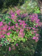 28 september 2018 Filipendula kahome älgört (vacker, buskliknande älgört)