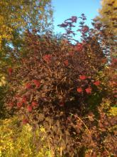 28 september Rödbladig smällspirea blommar