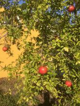 6  oktober 2017 Fina, härliga granatäpplen
