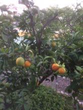 6 oktober Det lilla apelsinträdet