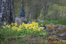 Primula veris  Gullviva