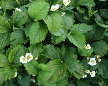 Smulgubben blommar (korsning mellan smultron och jordgubbar