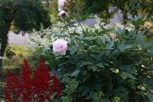 Röd och vit Astilbe och den sista pionblomman