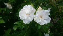 Rosa rugosa, Blanc Double de Coubert   (Vit buskros)